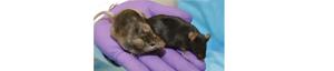 rats2.png